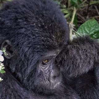 gorilla tracking safaris in Uganda