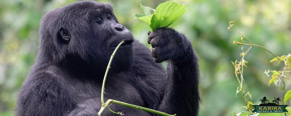 gorilla treks in Uganda