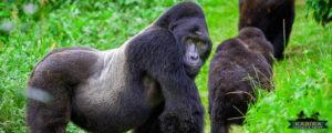 gorillas trek safaris in Uganda
