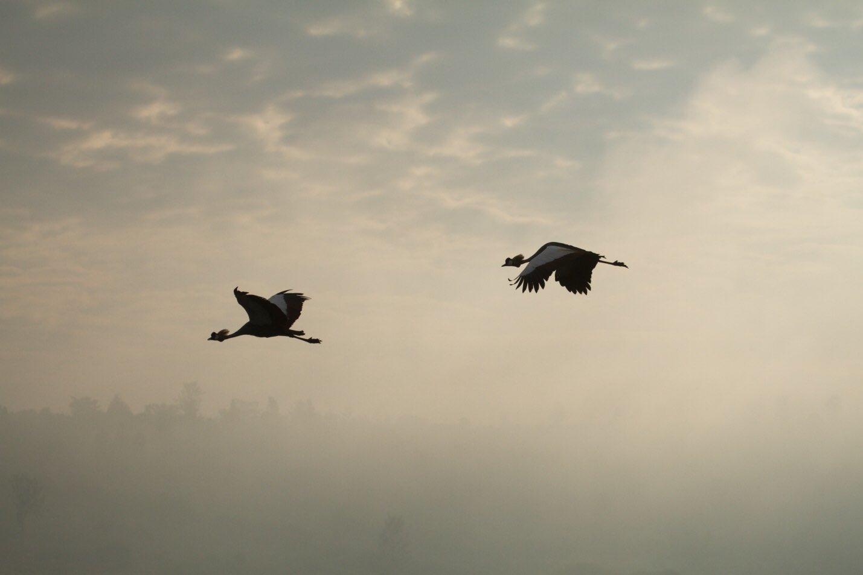 grey Crowned Cranes Akagera National Park Rwanda