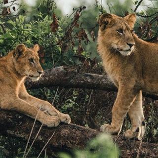 Tree climbing Lions in Ishasha - Queen Elizabeth National Park Uganda