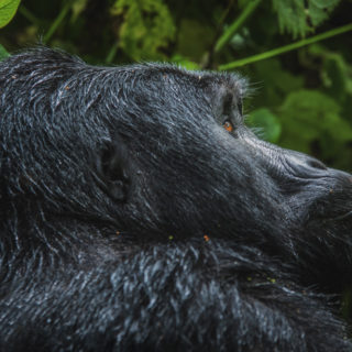 Cheapest Way to See Gorillas in Uganda