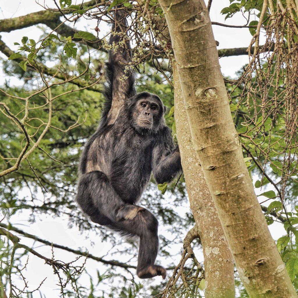 Chimpanzee trekking Nyungwe National Park Rwanda