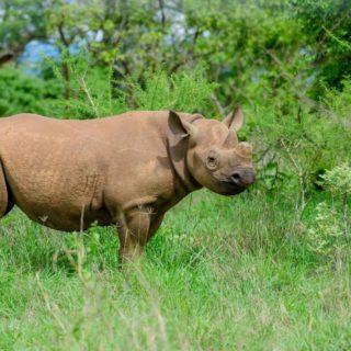 Eastern rhino in Akagera National Park Rwanda Wildlife viewing