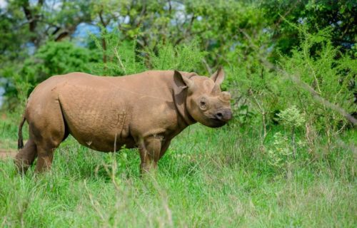 Eastern rhino in Akagera National Park Rwanda Wildlife viewing