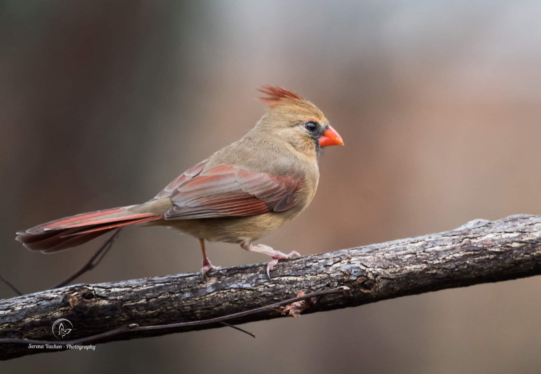 Long Uganda Birding Safaris