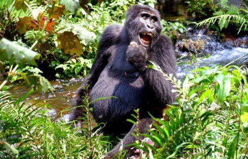 Long Uganda Gorilla safaris