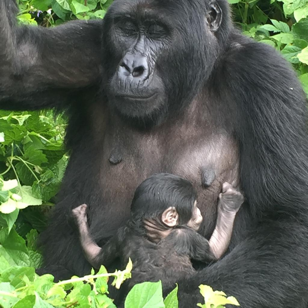 Mountain Gorilla trekking in Bwindi Impenetrable National Park