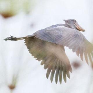 shoebill (Balaeniceps rex) - Birding Safaris in Uganda