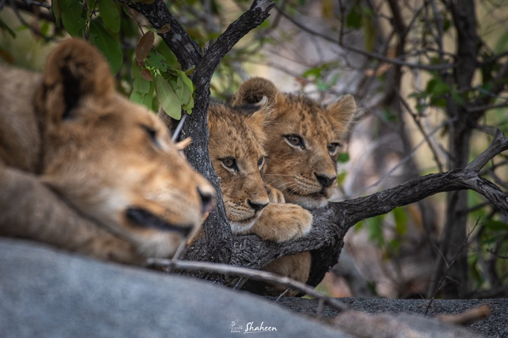 Tree Climbing lions - Uganda wildlife tours