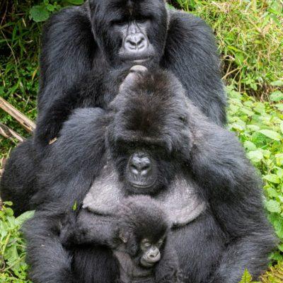 Volcanoes National Park Gorillas in Rwanda