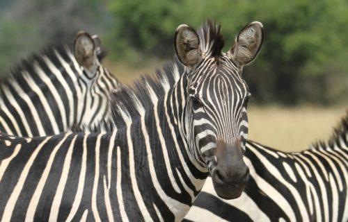 Zebras in Akagera National Park Rwanda