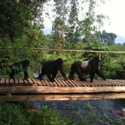 best time to go gorilla trekking in Uganda