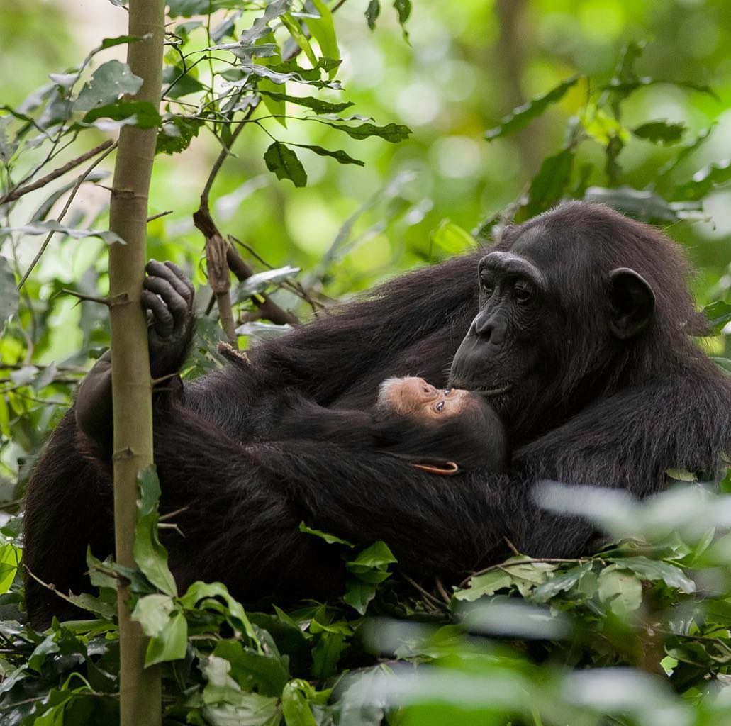 Chimpanzee trekking experience - Kibale Forest National Park