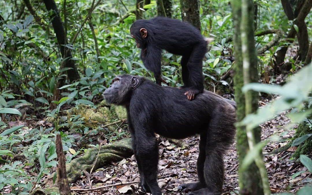 Chimpanzee trekking tour in Uganda