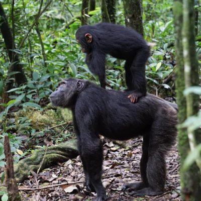 Chimpanzee trekking tour in Uganda