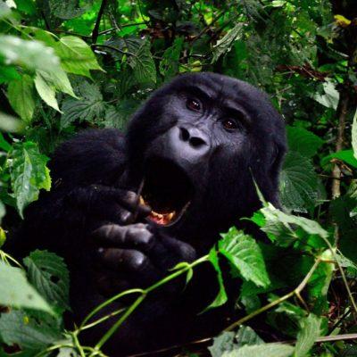Rwanda vs Uganda Gorilla trekking - Guide Comparison