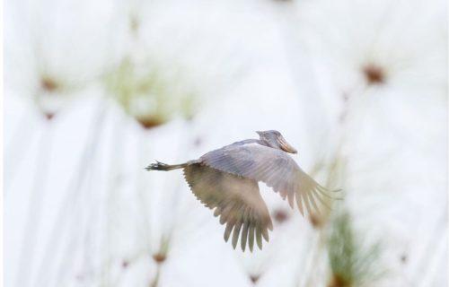 Shoebill birds of Uganda