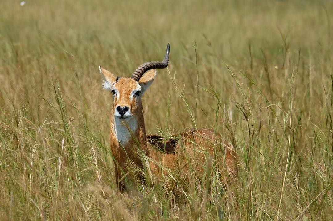 Antelope in Kidepo Valley National Park