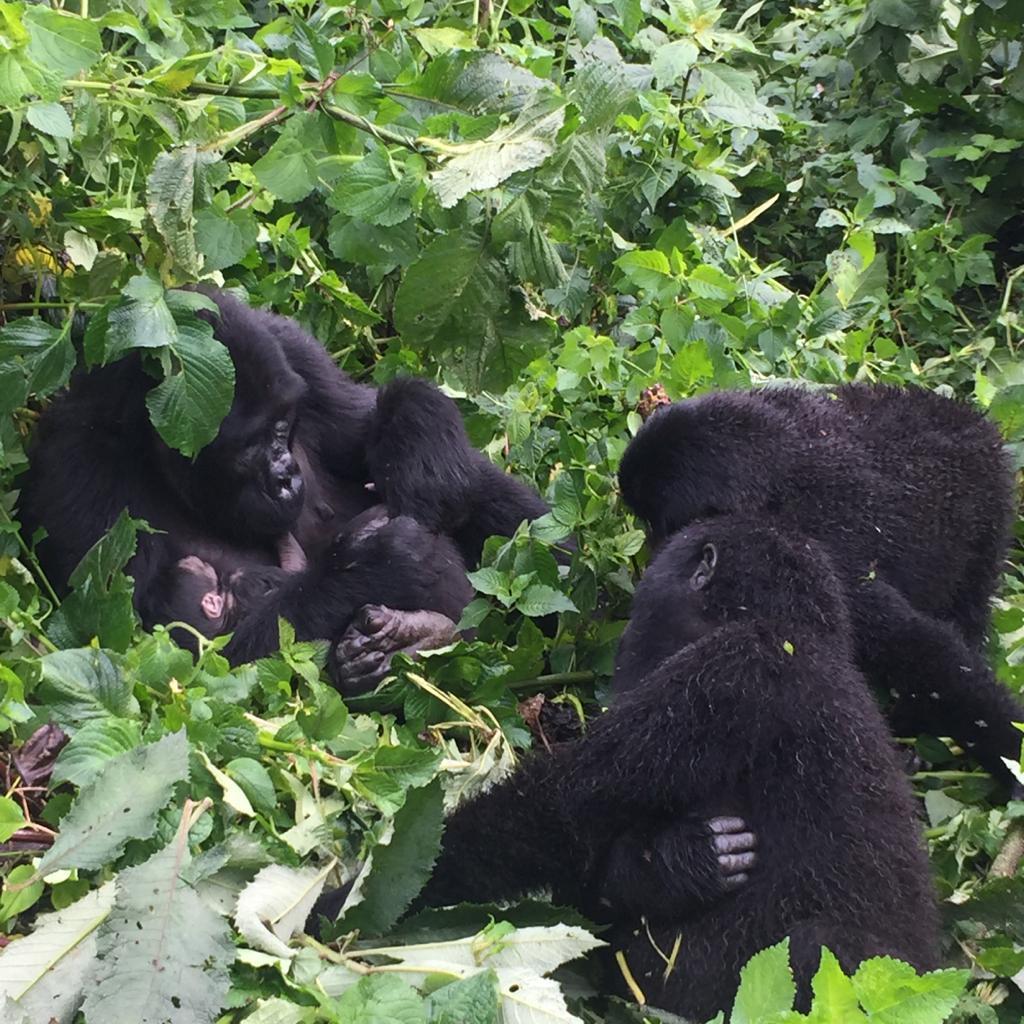 Gorilla Trekking Uganda Cost 2021 Gorilla Tours in Uganda