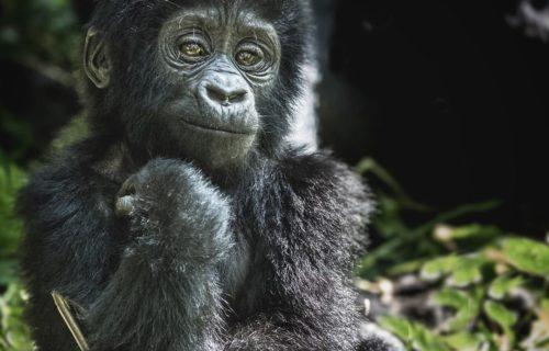 Gorilla trekking blog [Uganda Safaris]