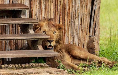 Lions (Wildlife) in Kidepo Valley National Park