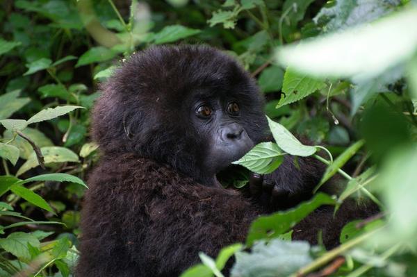 Congo Double Gorilla Trekking Safari from Kigali to Virunga National Park