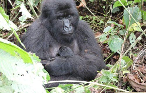 3 Days Congo Gorilla tour from Kigali