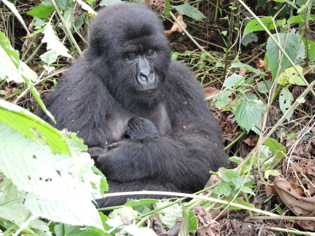 Congo Gorilla Trekking Price 2021 Congo Gorilla Safari Tours - Kabira