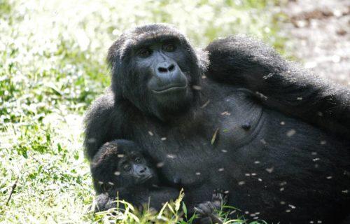 Gorilla Trekking Safari Itinerary to Uganda from Kigali Rwanda