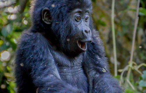 Gorilla trekking tours Holidays Uganda