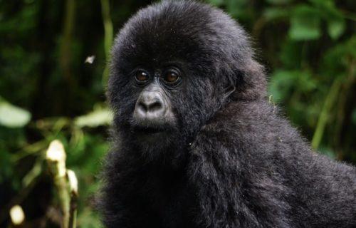 4 Days Lowland Gorilla Trekking Congo