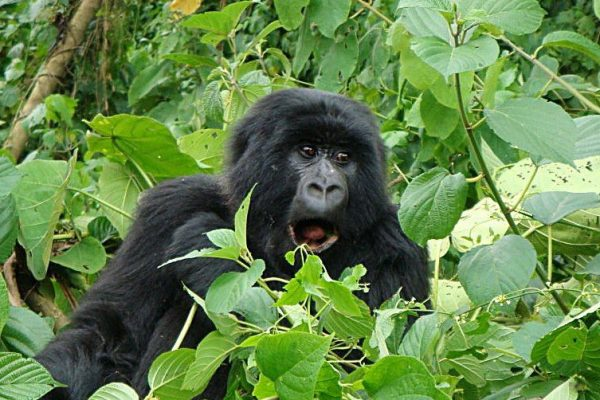 4 Days Congo Gorilla Trek & Nyiragongo Hike from Kigali
