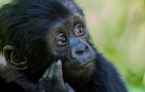 Mgahinga Gorilla Trekking Safari Uganda