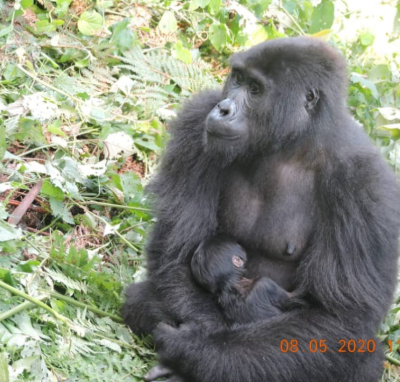 Muyambi Baby Gorilla in Bwindi Forest National Park Uganda