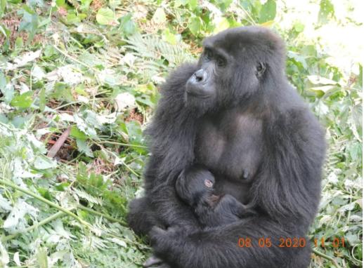 Muyambi Baby Gorilla in Bwindi Forest National Park Uganda