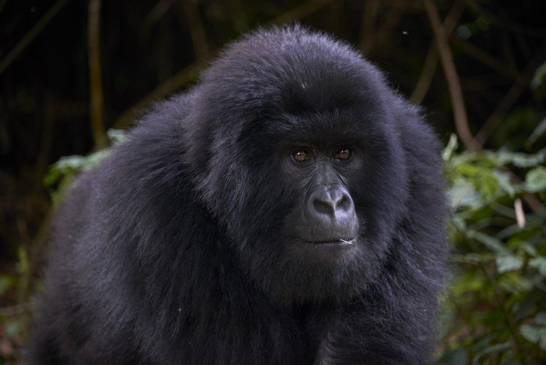 4 Days Congo Double Gorilla Trekking Safari from Kigali