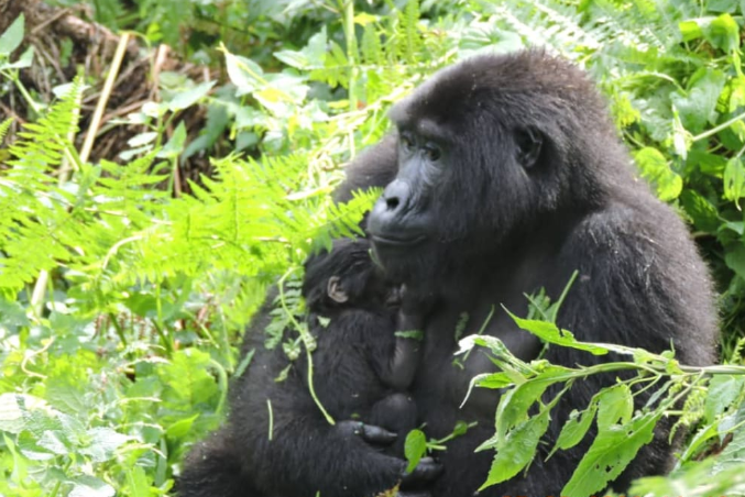Two New Baby Gorillas Born in Bwindi Forest