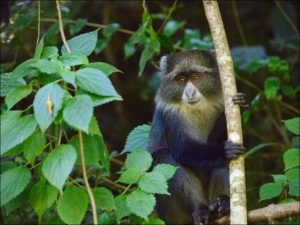 Blue monkey (Cercopithecus mitis), Arusha National Park