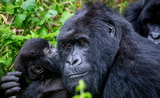 Rwanda Reopens Tourism with Discounted Gorilla Permits