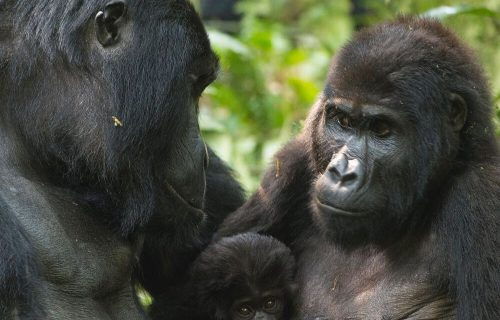 Uganda Gorilla trekking - Uganda Reopens Airport For Tourists - Gorilla Trekking Trips