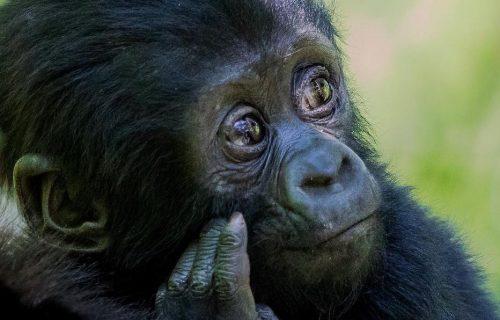 Gorilla Tracking on Ugandan Safari