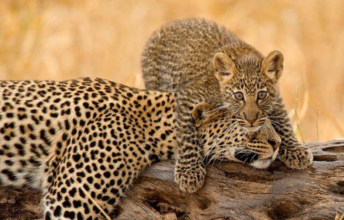 Tarangire National Park cheetahs