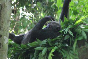 Chimpanzees Trekking Nyungwe Forest National Park