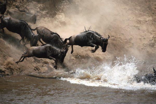 kenya wildebeest jumping river
