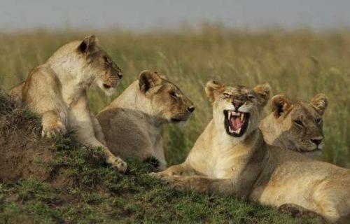 lioness pride serengeti safari