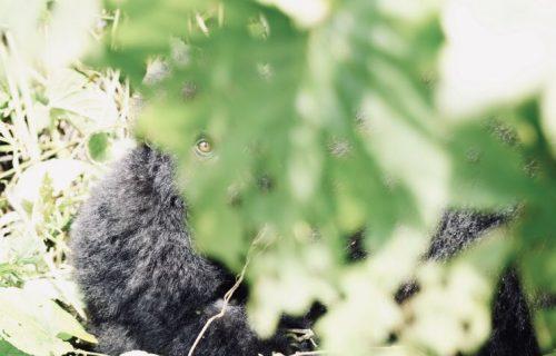 Gorilla Trekking Safaris Congo