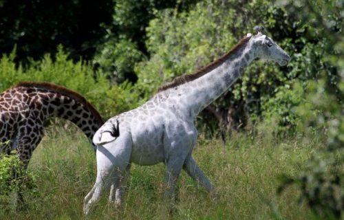 Rare White Girrafe in Tarangire