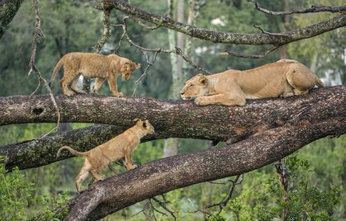 Tree climbing Lions at Lake Manyara National Park