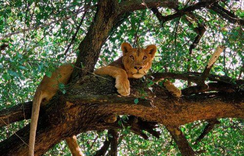 Tree climbing Lions at Lake Manyara National Park in Tanzania